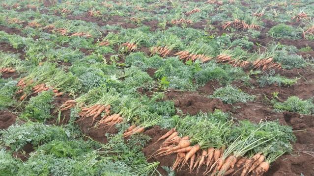 carote2